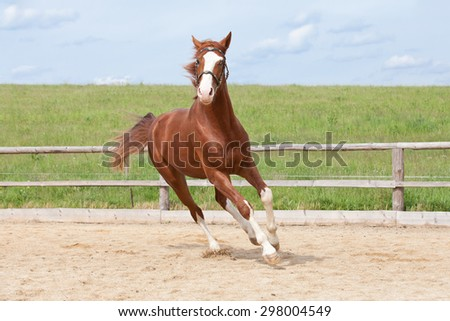 Portrait of nice running hot-blooded horse
