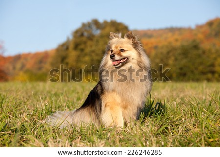 Portrait of nice spitz - stock photo
