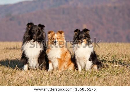 Portrait of nice three dogs - sheltie - stock photo