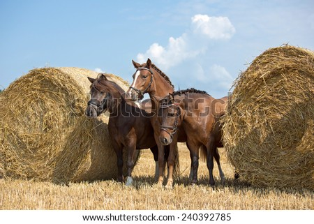 Portrait of nice three pony in the field  - stock photo