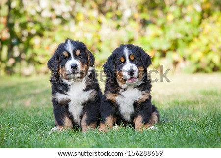 Portrait of nice two puppies - stock photo