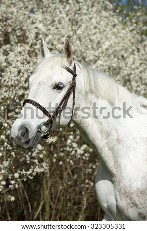 Portrait of nice white horse on a spring background - stock photo