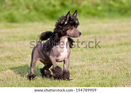 Portrait of nice young chinese crested dog