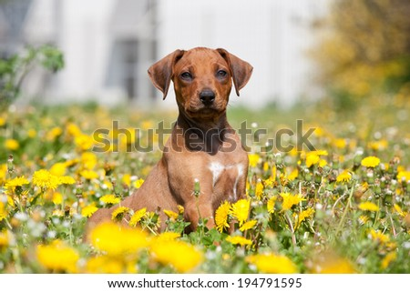 Portrait of nice young rhodesian ridgeback - stock photo