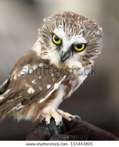 Portrait of Northern Saw-Whet Owl - stock photo