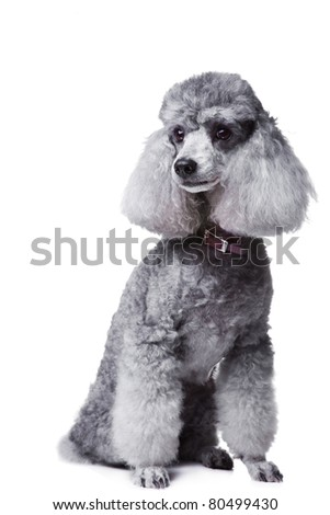 Portrait of obedient small gray poodle with  collar on isolated white background