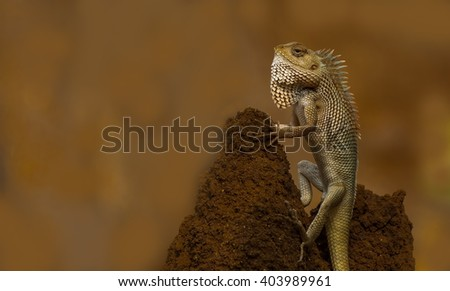 Portrait of of an Indian Lizard (Chameleon) with nice brown background