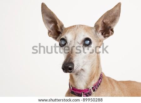 portrait of old blind dog, Italian Greyhound - eyes with cataract - stock photo