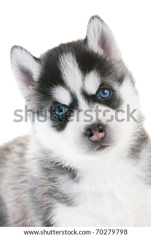 Portrait of one little cute puppy of Siberian husky dog with blue eyes isolated - stock photo