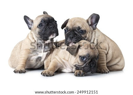 Portrait of one month old French bulldogs puppy  - stock photo