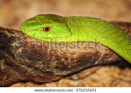 Portrait of One of the Most Dangerous Snakes - Green Mambas - stock photo