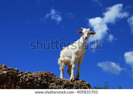 portrait of one white goat standing on rock over blue sky