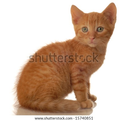 portrait of orange tabby kitten sitting - seven weeks old