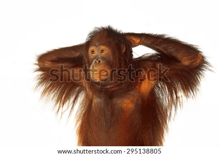 Portrait of Orangutan. - stock photo