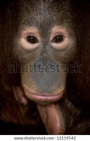 portrait of orangutan endangered species - stock photo