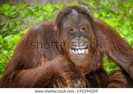 Portrait of Orangutan  Pongo pygmaeus  smiling with his teeth - stock    Orangutan Smiling Teeth