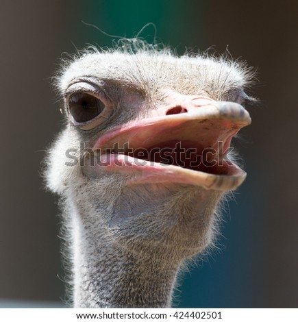 Portrait of ostrich on the nature - stock photo