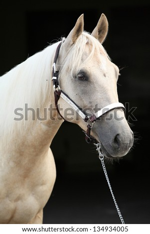 Portrait of palomino quarter horse in front of dark background