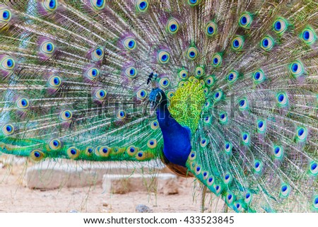 Portrait of peacock with spread feathers - stock photo