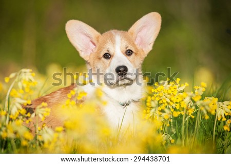 Portrait of pembroke welsh corgi puppy