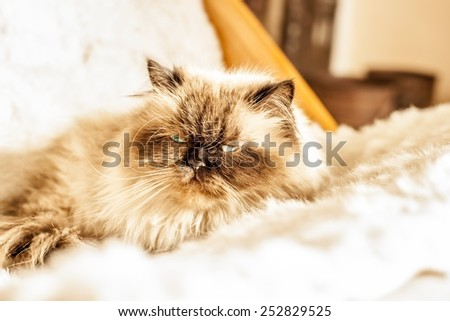 portrait of persian cat on the armchair - stock photo