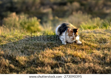 Portrait of pet cat in sunlight on grass stalking hunting and watching - stock photo