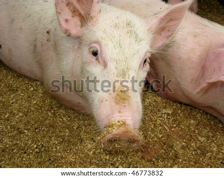 Portrait of pig