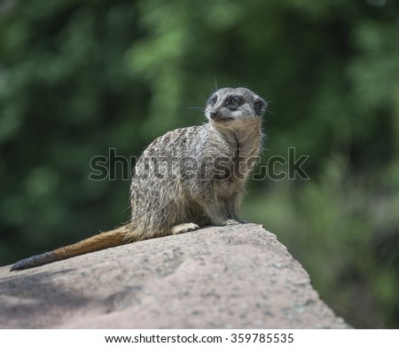 Portrait of playful and curious suricates in a small open resort, closeup, 2016 - stock photo