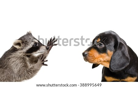Portrait of playful raccoon and puppy breed Slovakian Hound isolated on white background - stock photo