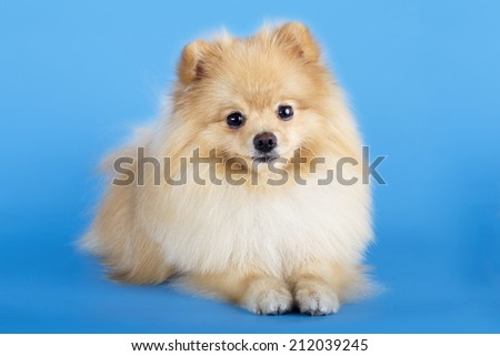 Portrait of pomeranian spitz isolated on blue background