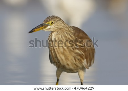 Portrait of pond heron