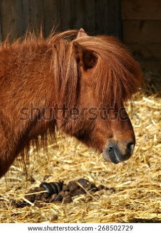 Portrait of pony in farm vertical - stock photo