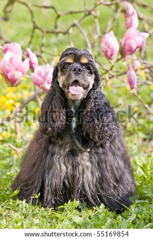 Portrait of posing american cocker spaniel - stock photo
