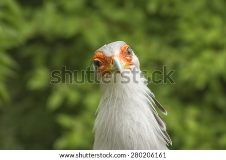 Portrait of Predator Bird (Sagittarius Serpentarius) - stock photo