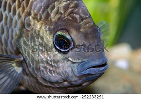 Portrait of Pristolepis fish - stock photo