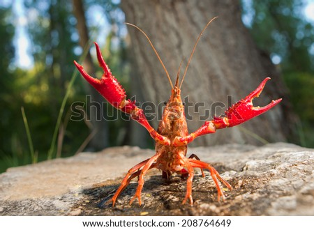 Portrait of procambarus clarkii, a freshwater crayfish species, native to the Southeastern United States, but found also on Europe, where it is an invasive pest - stock photo