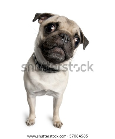 Portrait of pug, 18 months old, standing in front of white background, studio shot - stock photo
