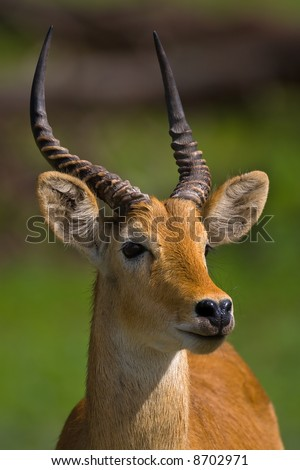 Portrait of puku; Kobus vardoni; Botswana - stock photo
