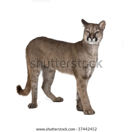 Portrait of Puma cub, Puma concolor, 1 year old, standing against white background, studio shot - stock photo