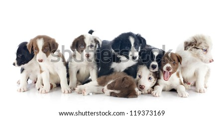 portrait of puppies border collies in front of white background