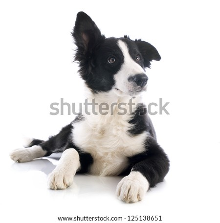 portrait of puppy border collie in front of white background - stock photo