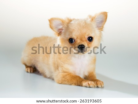Portrait of puppy Chihuahua on a white background - stock photo