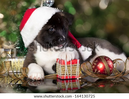portrait of puppy of breed the American Akita an