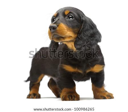 Portrait of puppy of Dachshund on white - stock photo