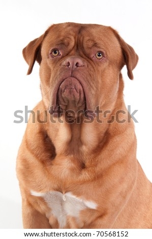 Portrait of puppy of Dogue De Bordeaux (French Mastiff) Breed isolated on white background - stock photo
