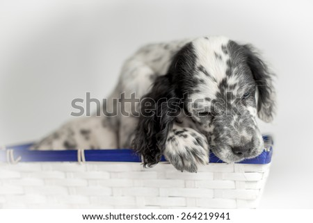 Portrait of puppy of english setter that play with a white wood basket - stock photo