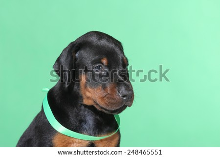 Portrait of Puppy with green belt  on green background - stock photo
