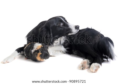 portrait of purebred border collie and guineo pig in front of white background