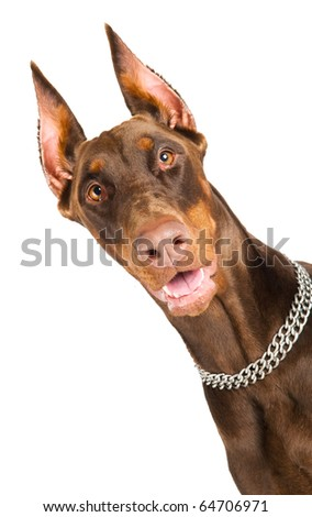 Portrait of purebred brown Doberman pinscher with open mouth isolated - stock photo