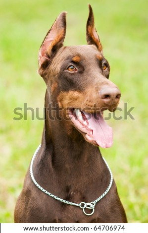 Portrait of purebred brown Doberman pinscher with open mouth outdoors - stock photo